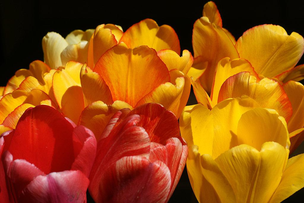 Tulpen 32
