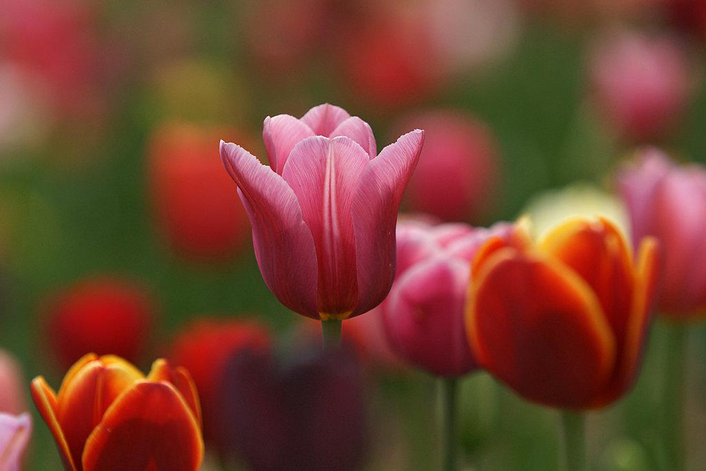 Tulpen 03