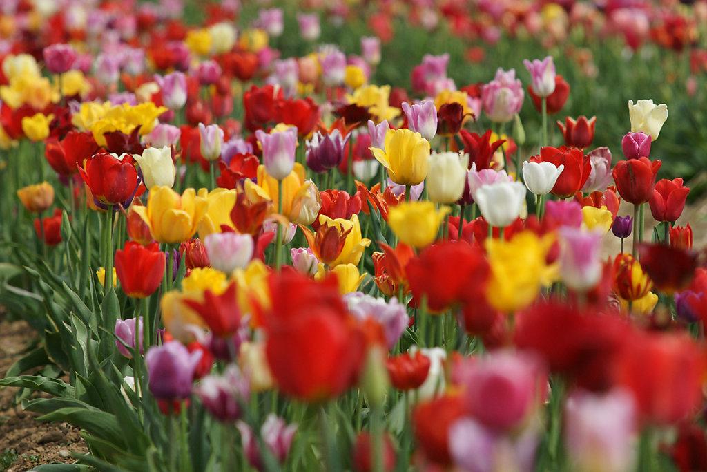 Tulpen 05