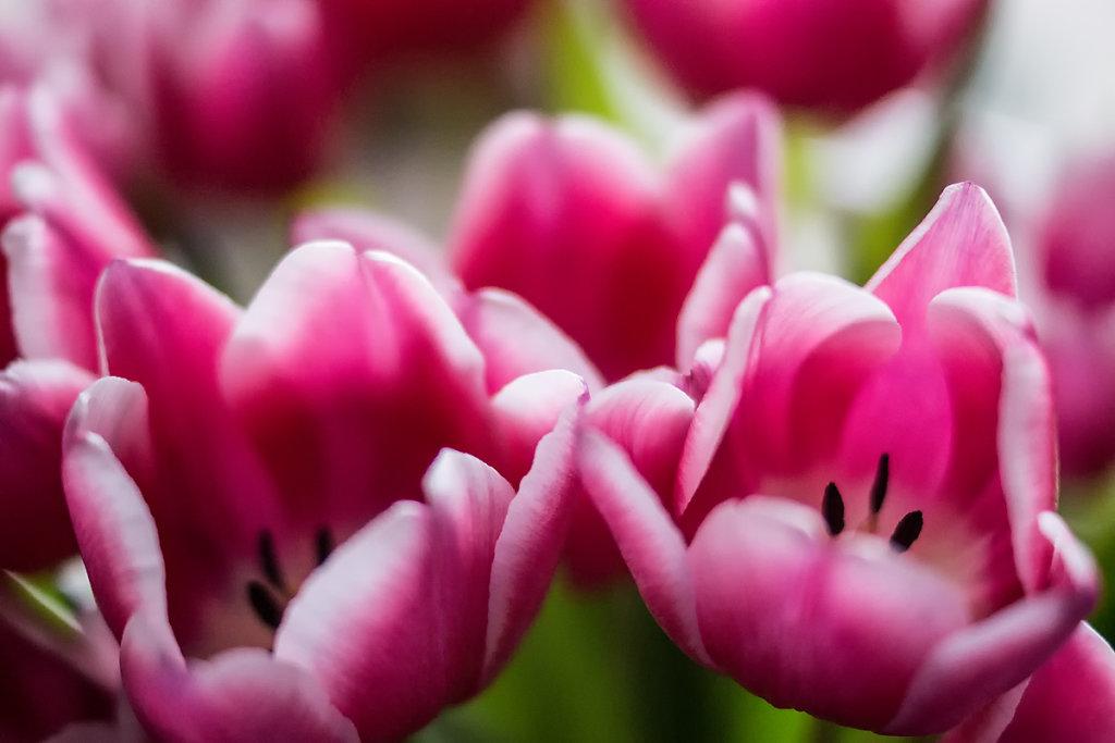 Tulpen 07