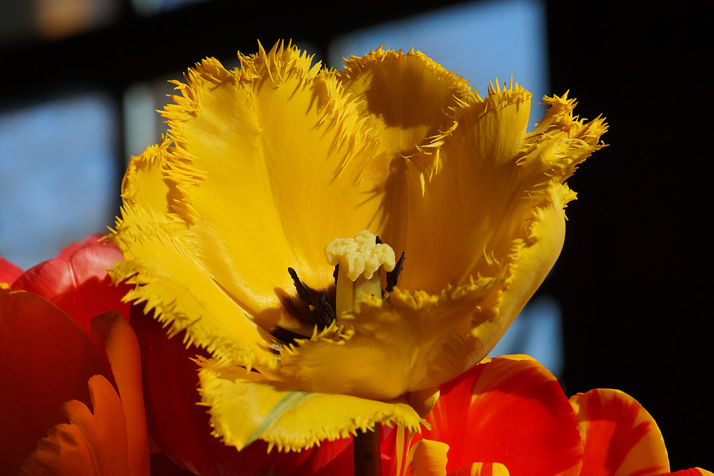 Tulpen 09