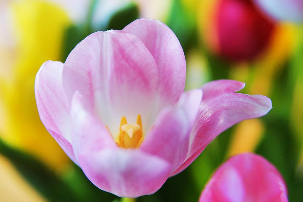 Tulpen 13