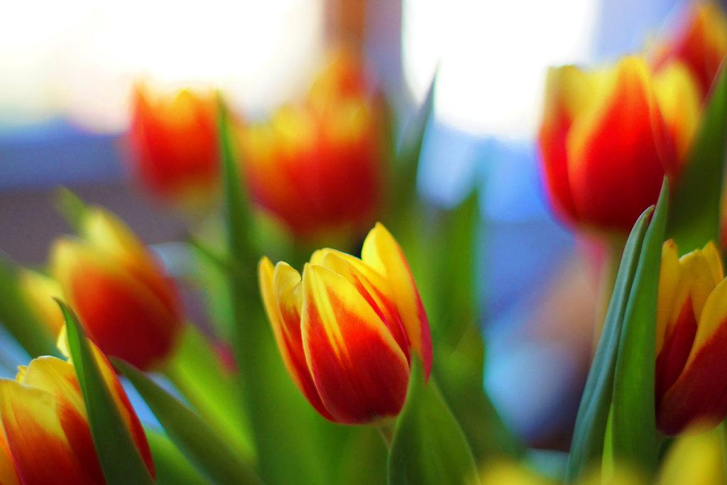 Tulpen 17