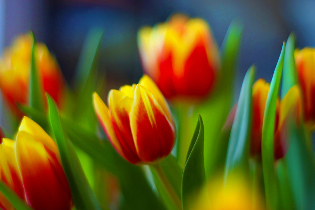 Tulpen 18