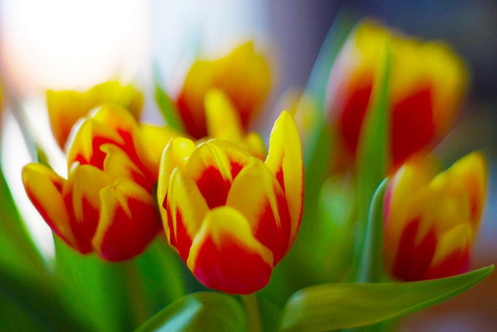 Tulpen 19