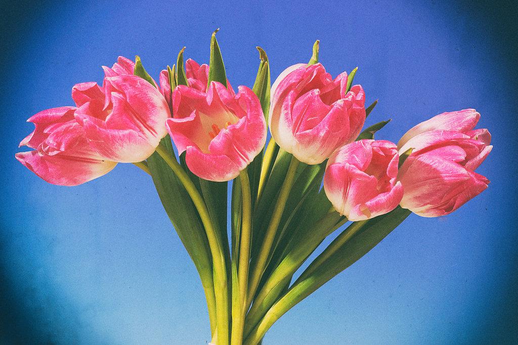 Tulpen 26
