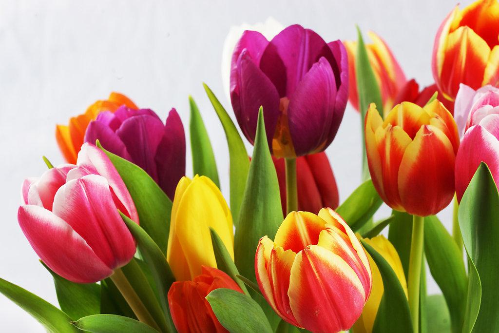 Tulpen 34
