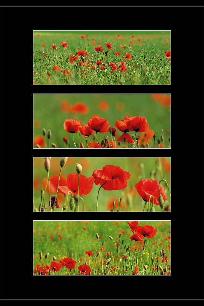 Collage Mohn 2
